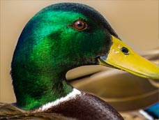 Waterfowl ID